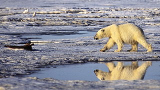 Bear_on_barnard_harbor,_beaufort_sea