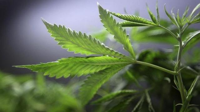H12 marijuana