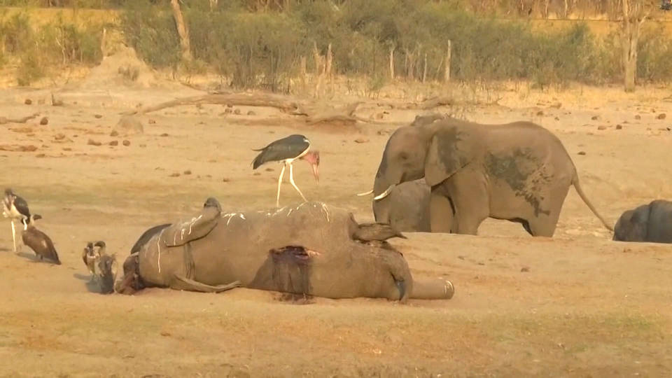 H9 southern africa drought zimbabwe elephants dying climate change