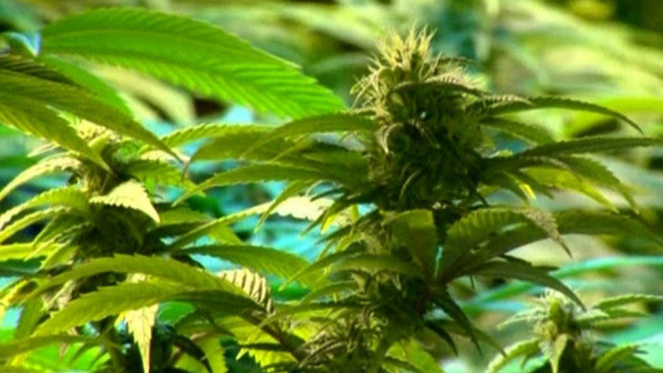 H07 weed