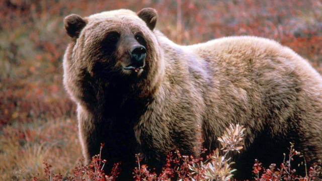 H11 grizzly bear