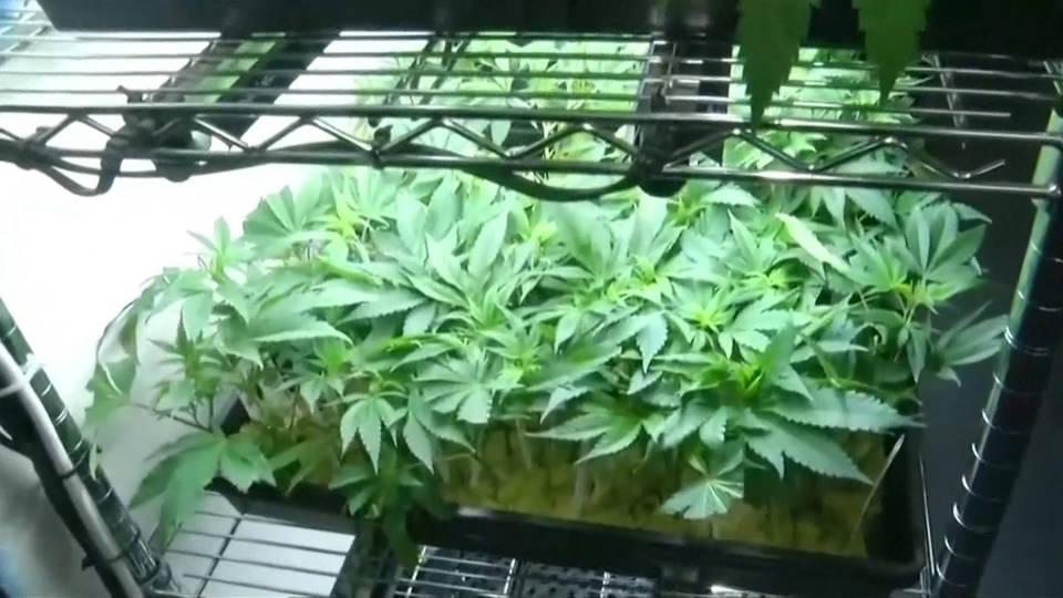 H14 marijuana