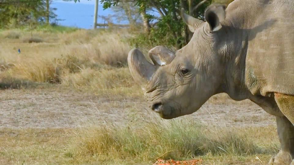 H10 white rhino obit
