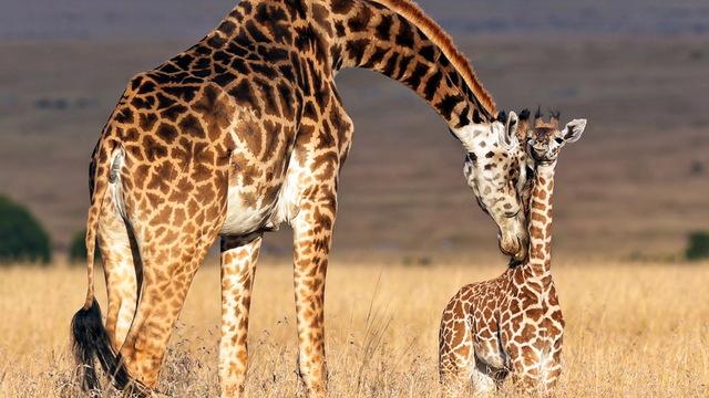 H08 giraffe