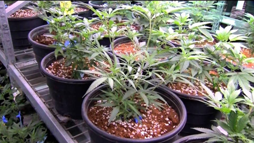 Hdlns10 nymarijuana