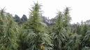 0910_seg03_marijuana