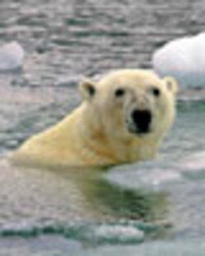 Polarbeardrownweb