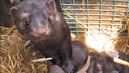 Green Scare: Animal Rights Activists Face Terrorism Charges for Freeing Minks from Fur Farm