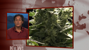Smoke Signals: Martin Lee on Growing U.S. Movement to Legalize Marijuana