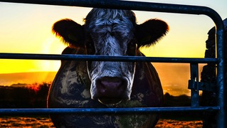Cowspiracy cow