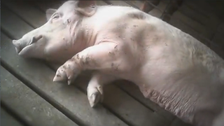 New-abused_pig-4