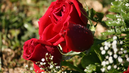 Deflowering Ecuador: The Bloom is off the Rose in Cayambe Valley, Homeland of Your Valentine Bouquet